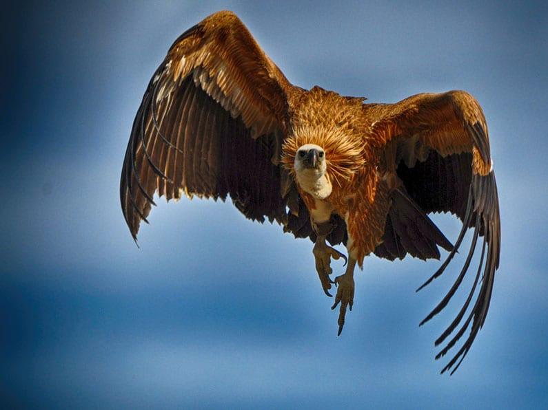 Engel of adelaar